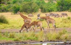 Girafas que bebem o parque nacional de Kruger da água Foto de Stock