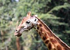 Girafas que comem na reserva de mara do Masai foto de stock