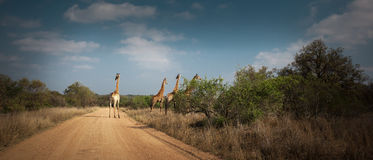 4 girafas que cruzam uma estrada de terra Foto de Stock Royalty Free