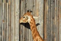 Girafas que iliving e para apreciar sua vida imagem de stock