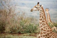 Girafas que relaxam em Bush africano foto de stock