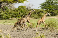 Girafas running do Masai Foto de Stock Royalty Free