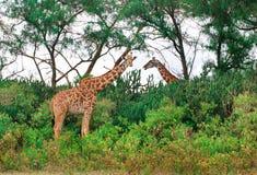 Girafas selvagens no savana Fotos de Stock Royalty Free