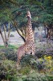 Girafas selvagens no savanna Fotografia de Stock