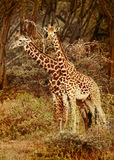 Girafas selvagens no savanna Imagem de Stock Royalty Free