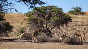 Girafas selvagens perto da árvore no savana imagens de stock royalty free