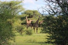 Girafas, Tanzânia Imagens de Stock Royalty Free