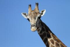 Girafclose-up royalty-vrije stock foto