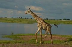 Girafe à l'abreuvoir Photographie stock libre de droits