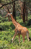 Girafe à Nairobi Kenya Image libre de droits