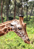 Girafe à Nairobi Kenya Images libres de droits