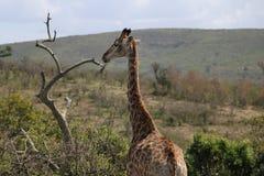 Girafe écoutant l'entourage Image libre de droits