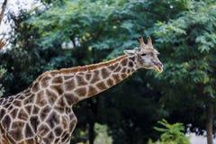 Girafe σε ένα πάρκο άγριας φύσης στοκ φωτογραφία με δικαίωμα ελεύθερης χρήσης