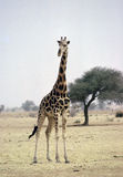 Girafe Stock Photo