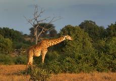 girafe Obraz Royalty Free