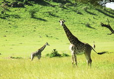 Girafe Royalty Free Stock Image