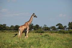 Girafe Royalty Free Stock Images