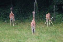 girafe 3 photos stock