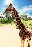Girafe Royalty Free Stock Photos