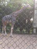 Girafe photographie stock libre de droits