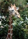 Girafe 3 Photo libre de droits