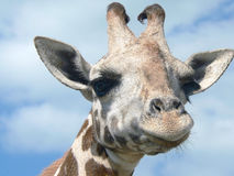 Girafe Photographie stock