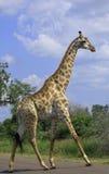Girafe Images libres de droits
