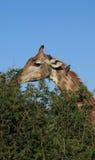Girafe Image stock