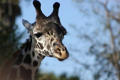 Girafe Photos stock