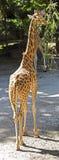 Girafe 4 Photographie stock libre de droits