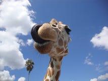 Girafe舔 库存照片