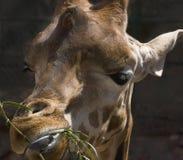Girafe Foto de Stock