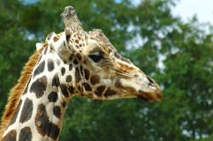 Girafe. Close up view of girafe's head from side Stock Photography