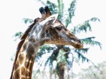 Girafe Image libre de droits