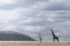 Girafe photo stock