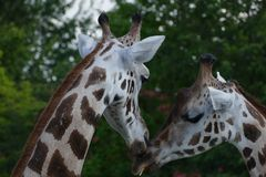 Girafe Fotografia Stock