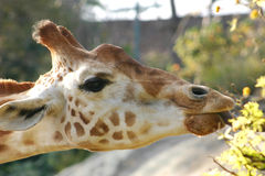 Girafe. Reaching for leaves Stock Photography