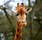 Girafe Fotografia Stock Libera da Diritti