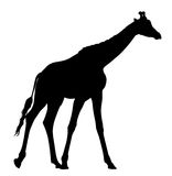 Girafe. Abstract vector illustration of an girafe silhouette. The tail of the giraffe is a separate element and can be moved to different locations Royalty Free Stock Images