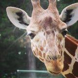 Girafe africaine marchant dans le zoo de la ville d'Erfurt Images stock