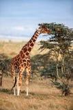 Girafe africaine se tenant près de l'arbre dans la savane Photos stock