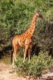 Girafe africaine se tenant près de l'arbre dans la savane Photographie stock