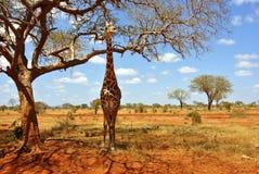 Girafe Afrika Stock Afbeelding