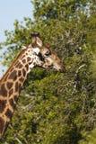 Girafe Afrique du Sud images stock