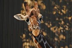 Girafe agitant ses oreilles Photographie stock libre de droits