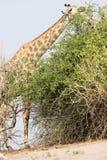 Girafe alimentant sur des feuilles d'arbre Photographie stock libre de droits