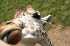 Girafe amicale Photographie stock
