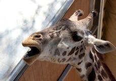 Girafe appelle Photos libres de droits