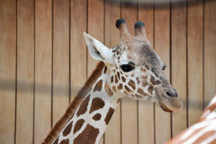Girafe attentive Photographie stock