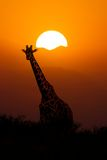 Girafe au fond de coucher du soleil photo stock